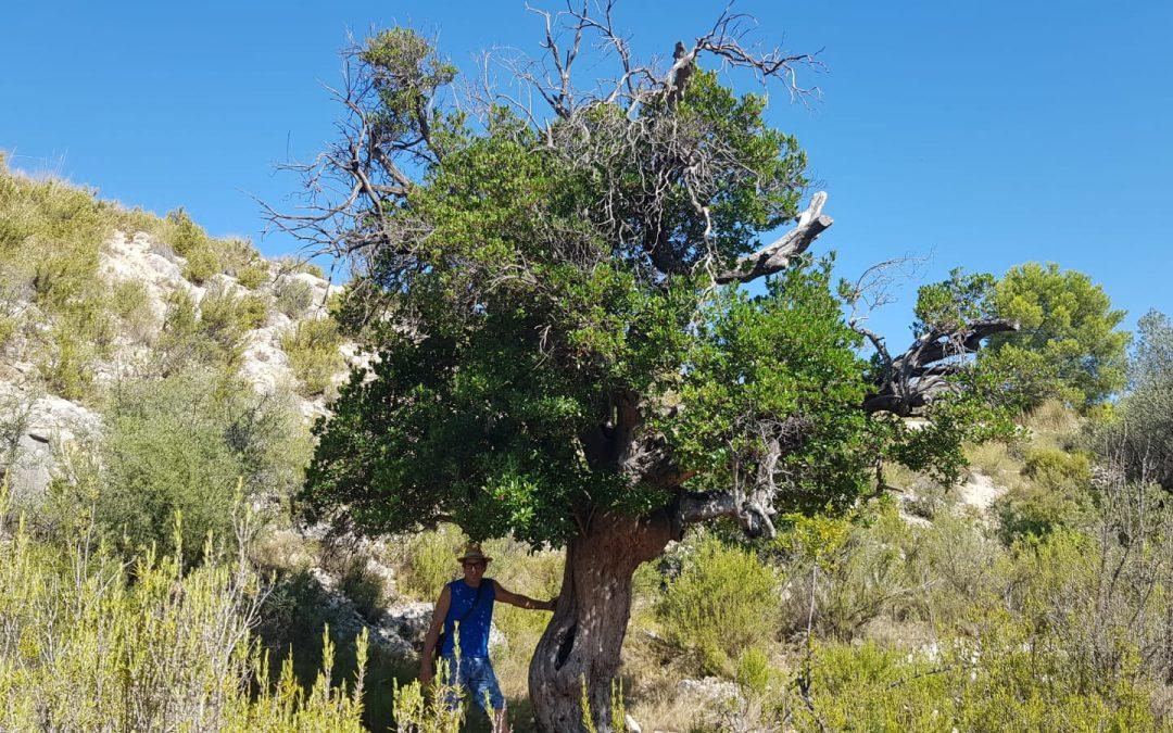 Un fòssil vivent, Arboç o Madroño Fotonotícia