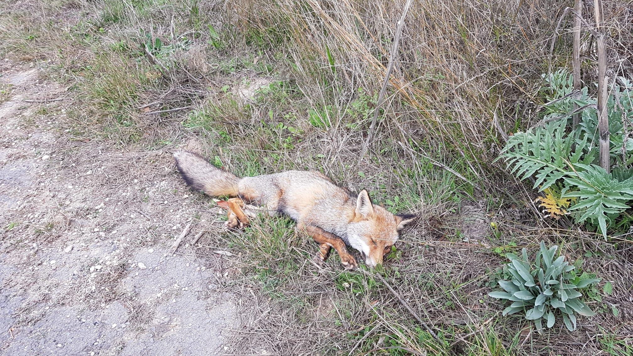 Troben una rabosa malalta a una 'cuneta' per Xinorla, a Monòver Notícia destacada - Natura